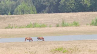 Nature. Pet. Horses graze in a field near the river in the summer.
