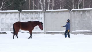 Rider treats brown horse walking in the field in winter