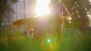 The dog breed irish setter running away his host playing on the grass at summer sunset