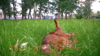 The dog - irish setter lies on the grass at summer park