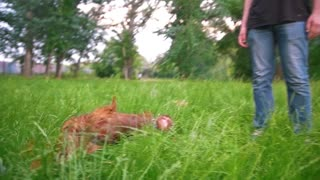 The dog irish setter lying in the grass at park - slow motion