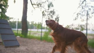 Two dog playing outdoors - irish setter and husky, slow motion