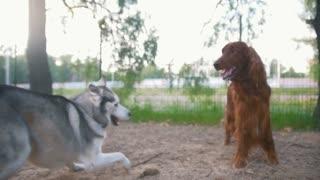 two dogs - irish setter and husky playing
