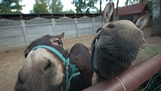 Two donkeys make funny faces and looking at camera