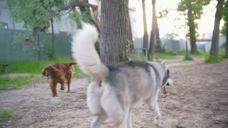 Two happy dogs playing outdoors - irish setter and husky, slow motion