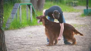Young man cleans the long hair of his dog breed red irish setter in summer park