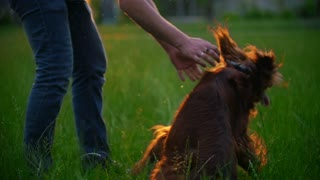 Young man playing with his dog irish setter on the grass at sunset