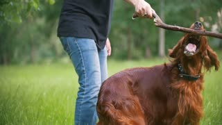 Young man plays with his pet dog - irish setter. Male give him branch of the tree