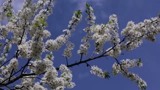 Branch cherry tree flowering.branch cherry tree in front of blue sky.