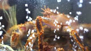 Alive Alaskan King Crabs in restaurant market tank