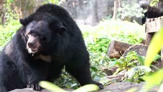 Asian black bear with white V shape fur at chest