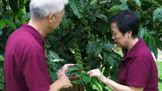 Asian senior couple checking coffee berry at their farm