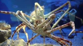 Big king crabs walking in the aquarium