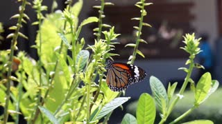 butterfly eating plant and flower nectar