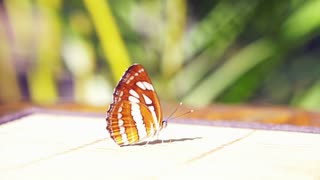 Butterfly lying still on table ready to fly off in morning sun