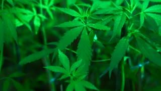 Cannabis sativa similar plant to marijuana