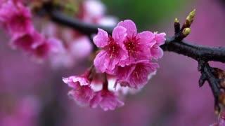 Cherry blossom flowers Japanese Sakura trees in Taiwan China