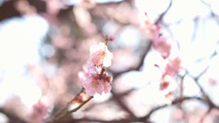 Cherry plum blossom in japan pink and white flowers