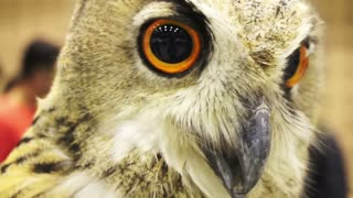 Close up shot of an Eurasian eagle owl looking around