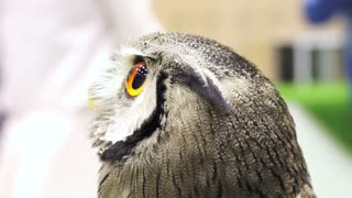 Close up shot of Small Northern white-faced owl. Beautiful yellow shiny eyes and grey feathers