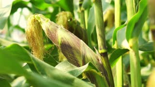 Close up shot of unripe ear, husk of corn on cornfield stalks