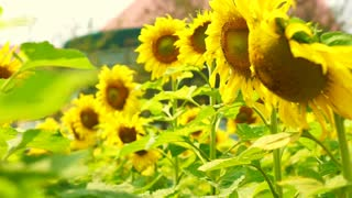Close up shot sunflowers field in Asia