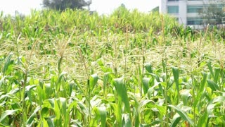 Corn field in Asia. Farm food industry harvest problem