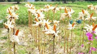 dried corns left on field in sunny farm