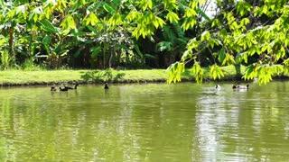 Ducks Swimming in lake with lush green nature