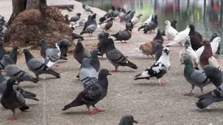 Flock of pigeons flying over historic canal  of Chiagmai