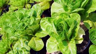 Fresh green organic salad vegetable farm watering