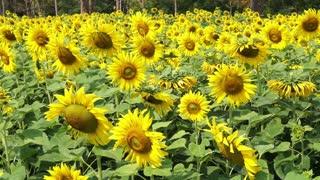 Full meadow of Sunflower field in summer