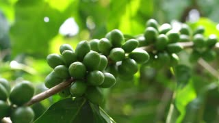 Green coffee cherries beans on a coffee tree branch in organic farm