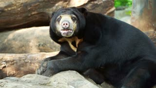 Helarctos malayanus sun bear with white V shape fur at chest