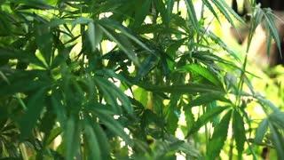 Hemp, Cannabis sativa, similar plant to marijuana but use for agricultural and fibre business