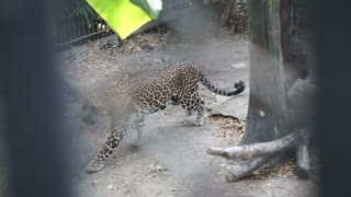 Jaguar behind the cage walking, two combine shot