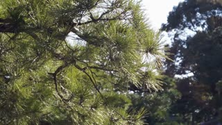 Japanese pine tree in the sunlight and wind