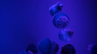 Jelly blubber (Catostylus mosaicus) or Blue Blubber Jellyfish in dark blue ocean with illuminated light at aquarium,
