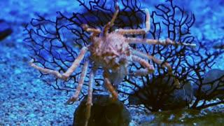 King Crab at aquarium under ocean dark blue bottom Stock video