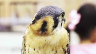 lanner falcon, Falco biarmicus, medium size bird of prey close up shot