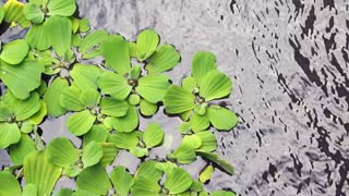 Lettuce leaves of Pistia grows in water. Natural background