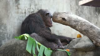 old chimpanzee eating tropical fruits on banana leave