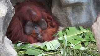 Old urangutan monkey sitting and eating fruits