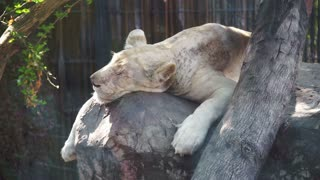 Old white lion sleeping under the tree shade in summer day