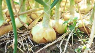 Organic green onions farm field in sunshine