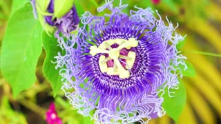 Passiflora flower, passion flower tropical exotic one