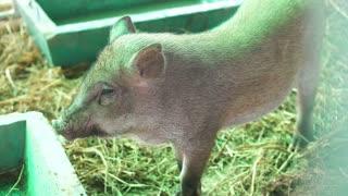 Pigs in farm food industry