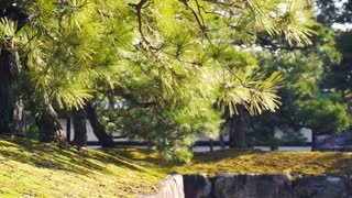 pine Japanese pine tree in the sunlight and wind