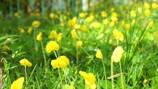 Pinto Peanut,  Arachis pintoi, yellow Brazilian pea ground cover plant flower in the morning sun after watering