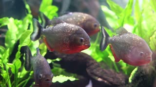 Piranha freshwater fish in South American Amazon rivers. Aggressive and love to eat meat